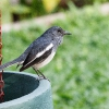150217-1221-16R - Oriental Magpie Robin