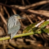 150219-0733-11R - Striated Heron