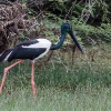 150226-1003-16R - Black necked Stork