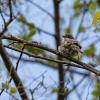 Klappergrasmücke - 160626-1325 - Juni 2016