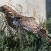 Schlangenadler - TP -150723-1043-10