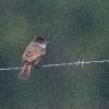 Dusky-capped Flycatcher - 160218-1633 - Februar 2016