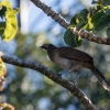Gray-headed Chachalaca - 160220-0718 - Monteverde NP - Februar 2016