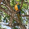 Great Green Macaw - 160222-1020 - Nicaragua - Februar 2016