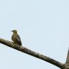 Hoffmann's Woodpecker - 160215-1300 - Februar 2016