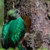 Resplendent Quetzal F - 160221-1039 - Monteverde NP - Februar 2016