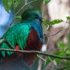 Resplendent Quetzal M - 160221-1041 - Monteverde NP - Februar 2016