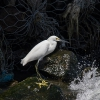 Snowy Egret - 160223-1011 - Februar 2016