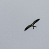 Swallow-taled Kite - 160215-1302 - Februar 2016