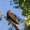 Turkey Vulture - 160216-0716 - Manuel Antonio - Februar 2016