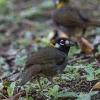 White-eared Ground-Sparrow - 160220-0757 - Monteverde NP - Februar 2016