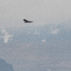 Seeadler - 160529-135031 - Island - Mai-Juni 2016