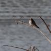 Braunkehl-Uferschwalbe-170114-1019R