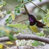 150217-1245-04R - Purple-rumped Sunbird