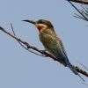 150218-0740-02aR - Blue-tailed Bee-eater