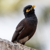 150218-0809-07aR - Common Myna