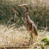 150218-0813-46R - Indian Pond Heron