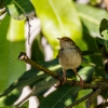 150218-1138-59R - Common Tailorbird