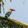 150218-1225-47R - Stork-billed Kingfisher
