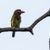 150218-1332-20R - Brown-headed Barbet