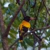 150218-1347-15R - Black-hooded Oriole