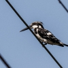 150219-0902-51R - Pied Kingfisher