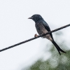 150221-0630-33aR - White-bellied Drongo