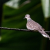 150221-0938-57R - Spotted Dove