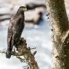 150222-1013-32dR - Crested Serpent Eagle