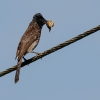 150223-0905-16R - Red-vented Bulbul