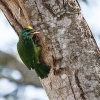 150224-0936-40bR - Yellow-fronted Barbet
