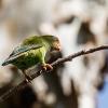 150224-0951-02aR - Sri Lanka Hanging Parrot