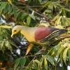 150224-1743-26R - Sri Lanka Green Pigeon