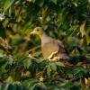 150224-1746-05R - Orange-breasted Green Pigeon
