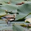 150225-1307-31R - Pheasant-tailed Jacana