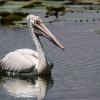 150225-1324-43R - Spot-billed Pelican