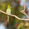 150225-1710-32aR - Little Green Bee-eater