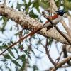 150225-1725-11R - Asian Paradise-flycatcher