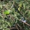 150225-1732-55R - Jerdons Leafbird