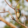 150225-1738-19R - Coppersmith Barbet