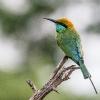 150226-0748-29R - Little Green Bee-eater