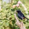 150226-0752-29-BR - Black-backed Robin