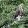 150226-1000-46R - Grey-headed Fish Eagle