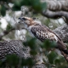 150226-1025-54aR - Mountain Hawk Eagle