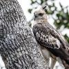 150226-1026-43-BR - Mountain Hawk Eagle