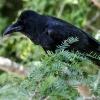 150226-1350-40aR - Large-billed Crow