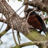 150226-1714-59R - Greater Coucal