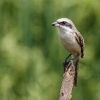 150227-1248-15R - Brown Shrike