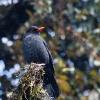 150302-0734-06aR - Eurasian Blackbird