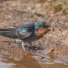 150302-0817-31R - Barn Swallow
